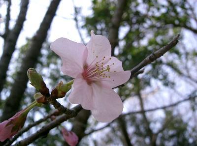 乐天海外销售 野生樱桃树幼苗樱桃苗樱桃树图片