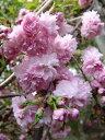 家の庭や玄関に 桜で景色をより美しく  小さな 美化運動は 桜を育てること 花期 4月中旬桜苗【菊枝垂桜 】桜