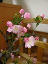 桜 盆栽送料無料盆栽:花海棠桜桜盆栽  お花見セット 2017年花芽付の桜盆栽となります。
