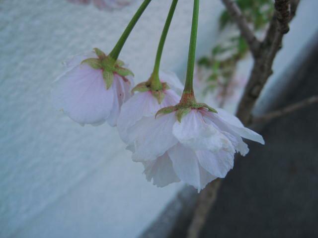 bonsai 日本乐天市场 樱桃树幼苗图片
