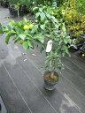 果樹苗木花ユズハナユズ苗健康美と言われるています。