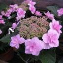 日本の山アジサイで八重の大輪種写真はピンクだが土壌PHによっては青になります花時期: 5〜7月 山アジサイ城ヶ崎【紫陽花】 【信楽鉢入り】