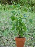 アジサイアナベル鉢植え2014年開花アナベル アジサイ  レビュー書いて