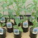キワタ科 アダンソニア属物語「星の王子様」にも登場する逆さまに植えられたような木です。バオバブ【観葉植物】【ミニ観葉植物】【贈り物】