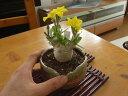 しい 珍種  開花は4月頃に咲きますパキポディウムブレビカウレ【観葉植物】【ミニ観葉植物】【贈り物】【送料無料】【080424UP10】
