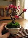 梅盆栽 【盆栽】信楽焼き入り紅梅ミニ梅の盆栽