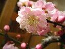 梅盆栽 【盆栽】信楽焼き入り五色梅ミニ梅の盆栽