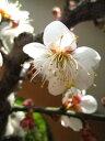 梅盆栽 【盆栽】信楽焼き入り梅(一重白梅)ミニ梅の盆栽