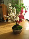 2012年3月初頃開花予定梅の開花今年の開花は少し遅めです。 梅盆栽 【盆栽】信楽焼き入り紅白梅盆栽