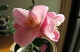 苗 花木 【庭木苗】 【ツバキ】 風鈴1号は  お花からいい香りがします。