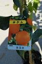 はるみミカン苗みかんの木はるみみかん苗柑橘苗 晴見みかん ビタミンCは 免疫力アップ ト 収穫は1月〜2月頃です