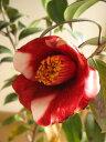 【庭木】 【ツバキ】古典椿 福鼓つばき