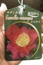 さざんか 【庭木】 【山茶花】サザンカ苗 サザンカユーレタイド