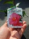 さざんか乙女 【庭木】 【山茶花】サザンカ苗 サザンカ
