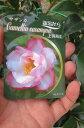さざんか上羽飛鳥  【庭木】 【山茶花】サザンカ苗 サザンカ