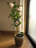 【鉢植え】 【ツバキ】古典椿 梅ヶ香椿 花に香りのある椿です。