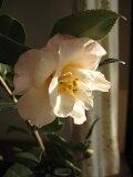 是在有山茶的家上(里)在【庭园树木】【山茶】古��椿梅ga香椿花上(里)香味儿有的山茶。[椿のある家に【庭木】 【ツバキ】古典椿 梅ヶ香椿 花に香りのある椿です。]