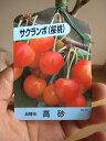 【庭木】 【果樹】【サクランボ】 高砂