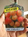 【庭木】 【果樹】【サクランボ】 ナポレオン