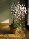 藤盆栽盆栽 お花の鉢花 2017年開花藤盆栽となります。