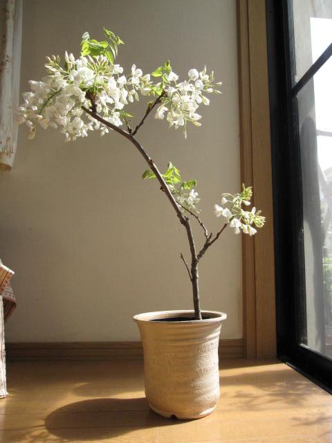 藤盆栽盆栽 白藤盆栽純白の白藤【楽ギフ_包装】【楽ギフ_メッセ】 送料無料 2016年開花終了しました。清涼感のある葉藤盆栽となります。 自宅で 可憐な 白の藤の お花が楽しめます信楽焼鉢植え