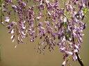 父の日ギフト 育てる楽しみ藤盆栽:黒竜藤2020年4月開花藤盆栽となります  高貴な紫と 香りがすばらしい【藤盆栽】