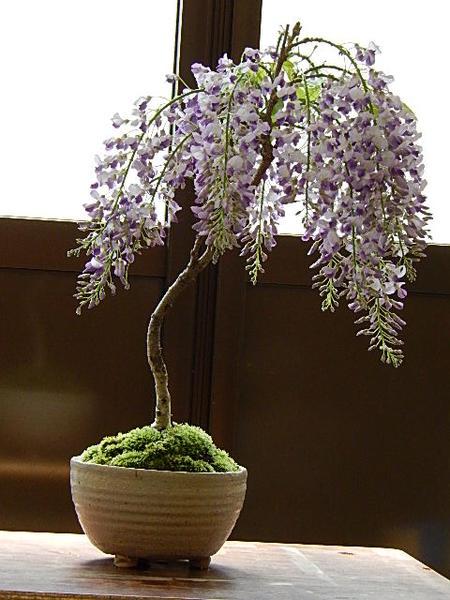 藤盆栽 しだれ藤盆栽: 藤盆栽2019年4月開花の藤盆栽となります