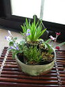 【山野草】【ミニ山野草5個】のお買い得春セット】と 【信楽鉢】