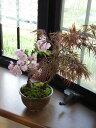 盆栽【もみじ】と2020年4月に開花の【桜】【寄せ植え】盆栽【ミニ盆栽】