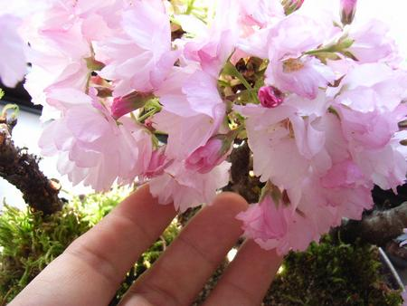 2018年開花予定サクラ盆栽盆栽桜と雛草の盛り合わせ桜盆栽 自宅で春にお花見 お祝い桜