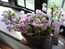 お花見を楽しむ桜盆栽旭山桜 三本寄せ植え【ミニ盆栽桜】2021年花芽付の桜盆栽となります。
