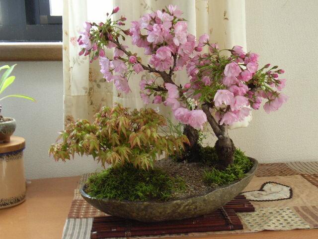 2019年4月に開花ギフト盆栽 【盆栽】桜ともみじの寄せ植え 送料無料