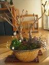 ギフト盆栽桜満天寄せ植え盆栽ギフト【送料無料】 桜盆栽 2017年花芽付の桜盆栽となります。