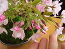 桜 盆栽桜 盆栽で自宅でお花見 2017年花芽付の桜盆栽となります。【送料無料】桜盆栽 信楽鉢入り