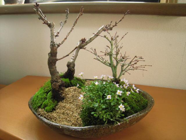 日本每周礼品的最好礼物自制盆景种植樱花,枫