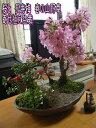 【桜盆栽】 桜寄せ植え盆栽桜盆栽ギフト2018年4月開花の花芽付の桜盆栽となります。【送料無料】 さ...