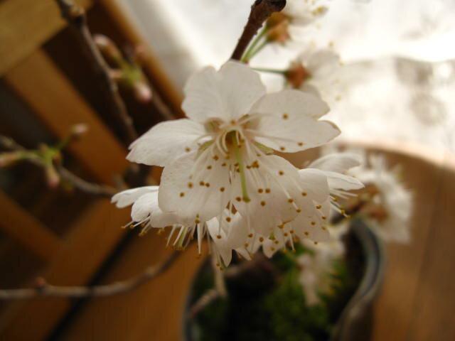 盆栽さくらんぼサクランボ鉢植え