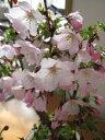 桜鉢植え桜御殿場桜桜鉢植 2020年4月に開花 サクラ