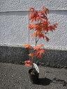 大盃紅葉 【もみじ】 【ポット苗】【紅葉】
