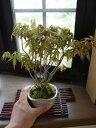 盆栽【もみじ】【ミニ盆栽】【 寄せ植え】