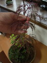 盆栽【もみじ】と【山野草】【寄せ植え】 【盆栽】【盆栽寄せ植え】【送料無料】