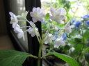 紫陽花エゾアジサイ綾 【あじさい】小苗 2016年開花終了剪定後の状態でお届けとなります
