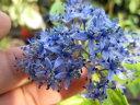紫陽花原種アジサイ デクロア 2016年開花終了剪定後の状態でお届けとなります