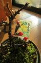 長寿梅盆栽【長寿梅】ボンサイ 縁起の良い 長寿梅 プレゼンにも 最適 ミニ盆栽