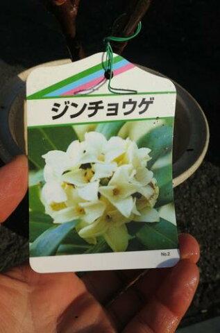 2018年2月〜3月に開花のジンチョウゲ白沈丁花花の香りがいいかおりがします。 開花は毎年三月 自然の香水 沈丁花