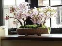 盆栽サクラ桜盆栽桜並木桜盆栽海外でも BONSAUIぼんさい 桜 2017年花芽付の桜盆栽となります