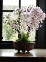 父の日ギフト八重ツイン盆栽桜盆栽信楽鉢入り 旭山桜盆栽育てて来年自宅でお花見が楽しめます