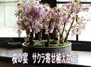 桜盆栽 お花見ができるさくら盆栽 八重桜 盆栽2017年花芽付の桜盆栽となります。