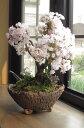 さくらのお花見 桜盆栽でお祝い2021年4月に開花お祝い贈り物に桜盆栽 自宅でお花見4月頃に八重咲きピンクの桜が楽しめます