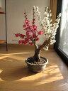 梅盆栽2016年誕生日お祝い事に紅白梅紅と白梅の梅盆栽おススメです。紅白梅ポット入り 【お買い得】紅